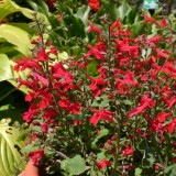 Salvia roemeriana 'Red Dwarf' ™