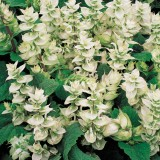 Salvia sclarea var. turkestanica alba 'Mojito' ™