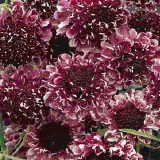 Scabiosa atropurpurea 'Beaujolais Bonnets' ™
