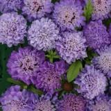 Scabiosa atropurpurea 'Blue Beau' ™