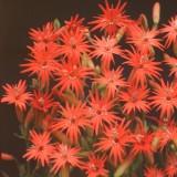 Silene laciniata 'Starburst' ™