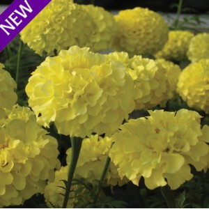 Tagetes erecta 'Savannah Moon' ™