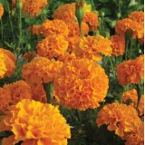 Tagetes erecta 'Savannah Sun' ™