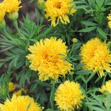 Tagetes erecta 'Simba Yellow' ™