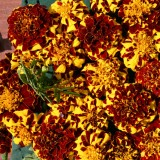 Tagetes patula 'Mr Majestic Double' ™
