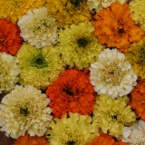 Tagetes erecta 'Fruity Mix' ™