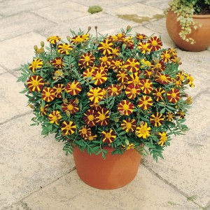Tagetes patula 'Mr Majestic' ™