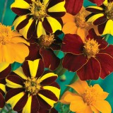 Tagetes patula 'Pots of Gold'