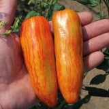 Tomato 'Orange Ray' ™