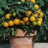 Tomato 'Balconi Yellow' ™