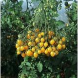 Tomato 'Ildi' ™