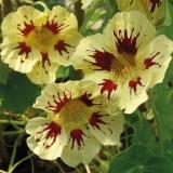 Tropaeolum majus 'Orchid Cream'