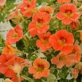 Tropaeolum majus 'Alaska Apricot' ™
