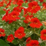 Tropaeolum majus 'Alaska Scarlet' ™