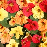 Tropaeolum majus 'Hawaiian Mix' ™