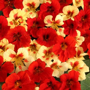 Tropaeolum majus 'Strawberry Cream' ™