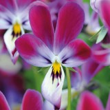 Viola hybrida 'Bunny Ears' ™