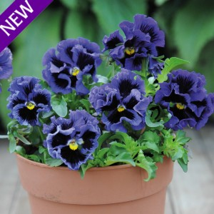 Viola hybrida 'Frou Frou Blue' ™