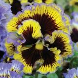 Viola hybrida 'Frou Frou Blue & Yellow' ™