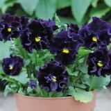 Viola hybrida 'Frou Frou Deep Violet' ™