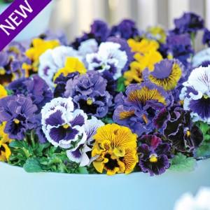 Viola hybrida 'Frou Frou Mixed' ™