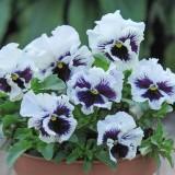 Viola hybrida 'Frou Frou White' ™