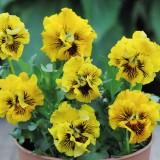 Viola hybrida 'Frou Frou Yellow' ™