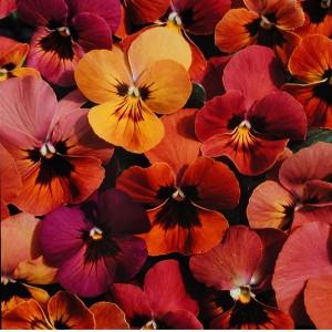 Viola hybrida 'Amber Jewel Mixed' ™