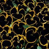 Viola x wittrockiana 'Brunig' ™