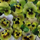 Viola x wittrockiana 'Envy' ™