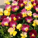 Viola hybrida 'Fire Shades' ™