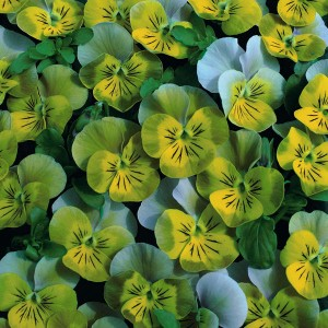 Viola hybrida 'Miniola Heart Aqua' ™