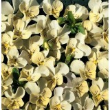 Viola hybrida 'Miniola Heart Cream' ™