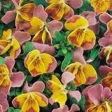 Viola hybrida 'Miniola Heart Pink' ™