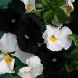 Viola wittrockiana 'Night And Day' ™