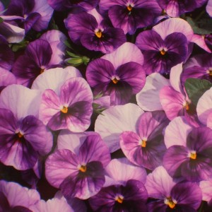 Viola hybrida 'Purple Passion' ™ F1