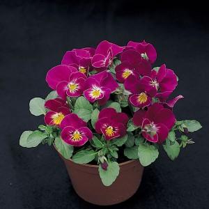 Viola hybrida 'Rose Shades' ™