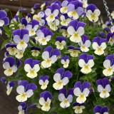 Viola hybrida 'Waterfall' ™ F1