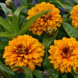 Zinnia haageana 'Aztec Orange' ™