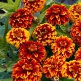 Zinnia haageana 'Aztec Red Bicolour' ™