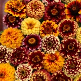 Zinnia haageana 'Aztec Sunset' ™
