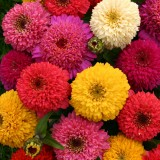 Zinnia elegans 'Candy Mix' ™