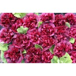 Alcea rosea 'Blackberry' ™
