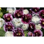 Alcea rosea 'Blackberry Ripple' ™