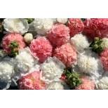 Alcea rosea 'Bride's Bouquet' ™