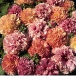 Alcea rosea 'Fruity Mixed ' ™