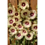 Alcea rosea 'Halo Cream' ™