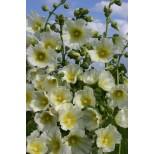 Alcea rosea 'Halo White' ™