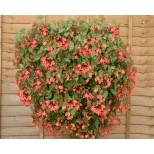 Begonia hybrida 'Pink Splash' ™