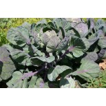 Brussels Sprout 'Falstaff' ™